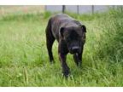 Adopt Sarah a Brindle American Pit Bull Terrier / Mixed dog in Spokane