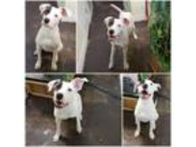Adopt Xona a White - with Black American Pit Bull Terrier / Great Dane / Mixed