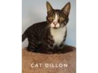 Adopt Cat Dillon a Domestic Shorthair / Mixed (short coat) cat in Kendallville