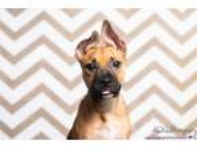 Adopt Ayra a Black Mouth Cur, German Shepherd Dog