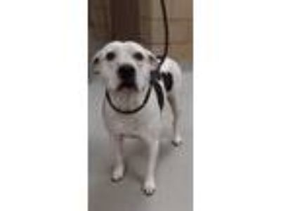 Adopt Effie a White American Pit Bull Terrier / Mixed dog in Mesquite
