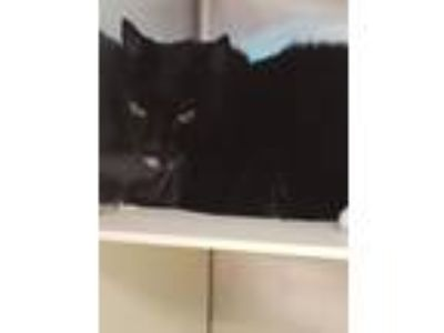 Adopt Blitz a Domestic Short Hair