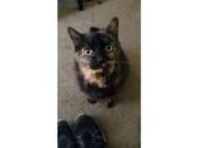 Adopt Daisy a Tortoiseshell Domestic Mediumhair / Mixed cat in Tempe