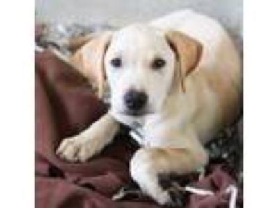 Adopt Ford a Tan/Yellow/Fawn Labrador Retriever / Mixed dog in Atlanta