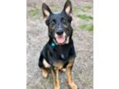 Adopt Panzer a Black - with Tan, Yellow or Fawn German Shepherd Dog / Mixed dog