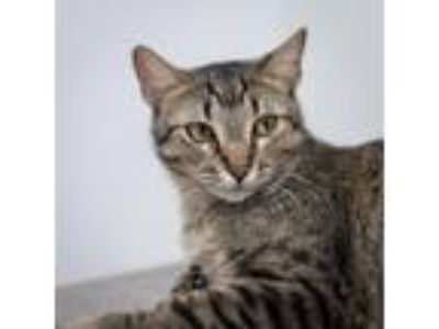 Adopt Peabo a Brown Tabby Domestic Shorthair (short coat) cat in Houston
