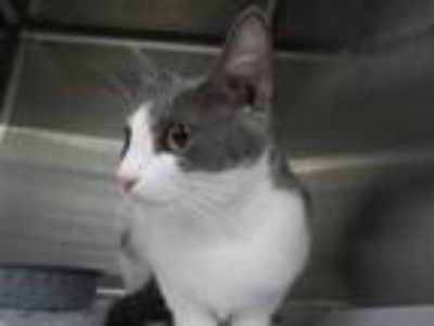 Adopt RAIN a Gray or Blue (Mostly) Domestic Shorthair / Mixed (short coat) cat