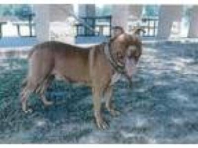 Adopt Red a Pit Bull Terrier