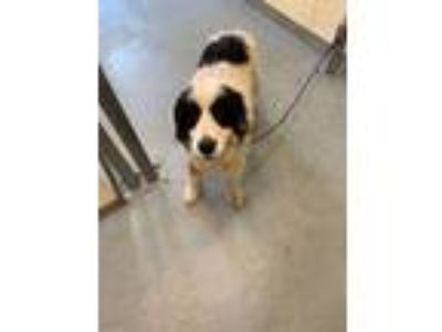Adopt Bud a Great Pyrenees, Mixed Breed