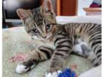 Adopt PIPER a Spotted Tabby/Leopard Spotted Domestic Shorthair (short coat) cat