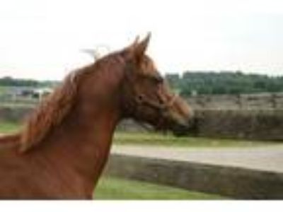 Adopt Peanut a Thoroughbred