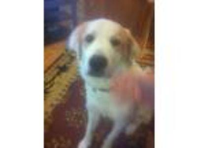 Adopt Apollo a White - with Tan, Yellow or Fawn Great Pyrenees / Labrador