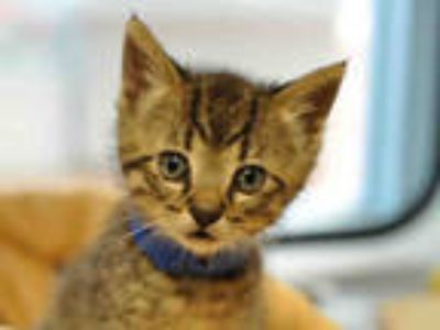 Adopt a Brown or Chocolate (Mostly) Domestic Shorthair / Mixed (short coat) cat