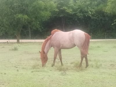 2 year old red roan filly.