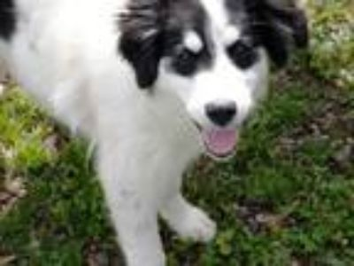 Adopt Juneau a White - with Black Great Pyrenees / Anatolian Shepherd / Mixed