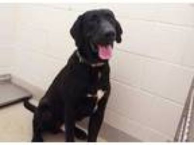 Adopt ORION a Black - with White Labrador Retriever / Mixed dog in Chapel Hill
