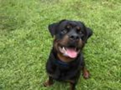 Adopt CAPONE a Rottweiler, Mixed Breed