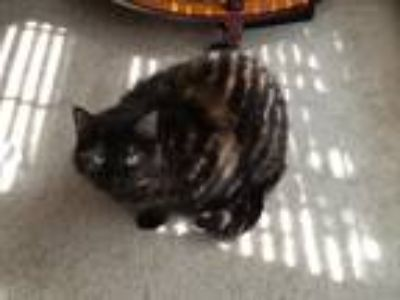 Adopt Alice a Tortoiseshell Domestic Shorthair / Mixed cat in Ballwin