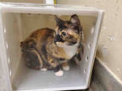 Adopt SANGRIA a Tortoiseshell Domestic Shorthair / Mixed (short coat) cat in