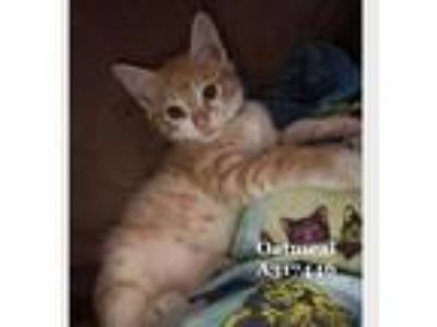 Adopt OATMEAL a Orange or Red Tabby Domestic Shorthair / Mixed (short coat) cat