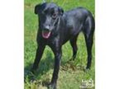 Adopt Anna a Black Labrador Retriever / Mixed dog in Washington, DC (25932633)