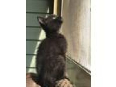 Adopt Dogwood (Foster Care) a Domestic Short Hair