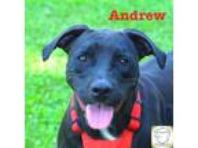 Adopt Andrew a Pit Bull Terrier / Mixed dog in Washburn, MO (24210853)