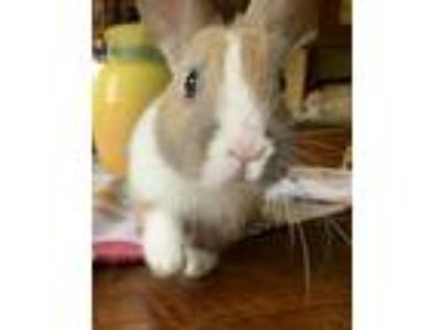 Adopt Meadow a White Dutch / Mixed (short coat) rabbit in Livermore