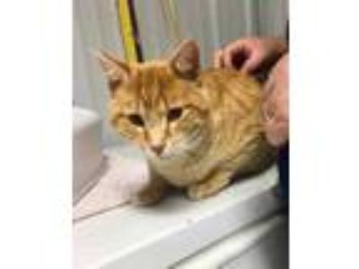 Adopt Tommy a Orange or Red Domestic Shorthair / Domestic Shorthair / Mixed cat