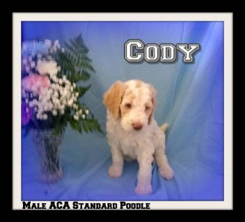 Cody ACA Male Standard Poodle