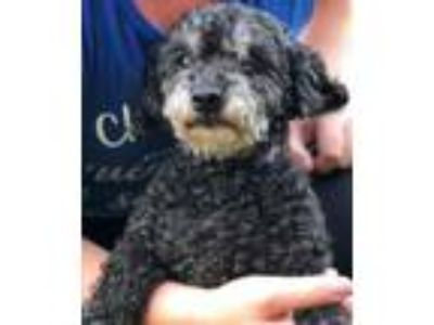 Adopt Babs a Poodle