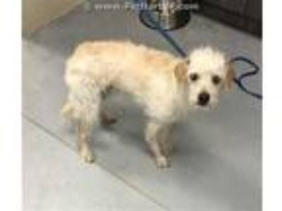 Adopt a White Rat Terrier / Mixed dog in Conroe, TX (25333809)