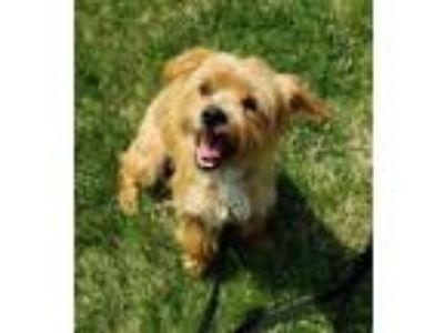 Adopt Eugene a Yorkshire Terrier, Silky Terrier