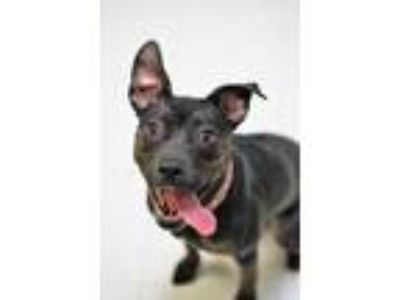 Adopt Lady a Pit Bull Terrier, Hound