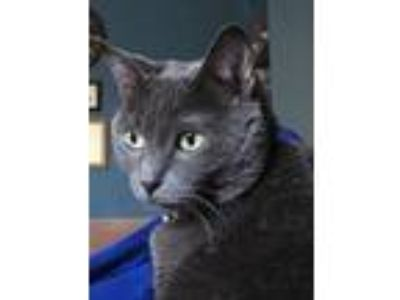 Adopt Myrna a Gray or Blue Domestic Shorthair cat in Lebanon, TN (25425825)
