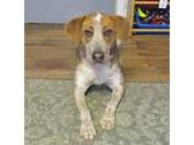 Adopt Bonnie a Red/Golden/Orange/Chestnut Beagle / Australian Cattle Dog / Mixed