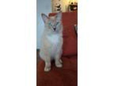 Adopt Nala a Tan or Fawn Korat cat in Mansfield, TX (25889492)