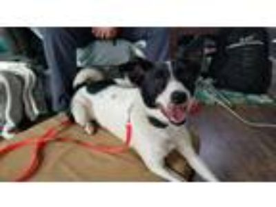 Adopt Pip a Black - with White Border Collie / Mixed dog in Lafayette