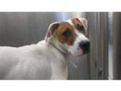 Adopt STRAY, A1073617 a White - with Tan, Yellow or Fawn Labrador Retriever /