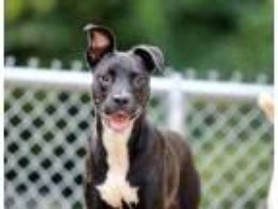 Adopt Uncle Sam a Black Mixed Breed (Medium) / Mixed dog in Charleston