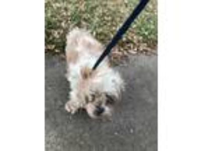 Adopt Charlie a White Lhasa Apso / Mixed dog in Fort Worth, TX (25637432)