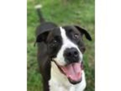 Adopt Dom a Great Dane, American Staffordshire Terrier