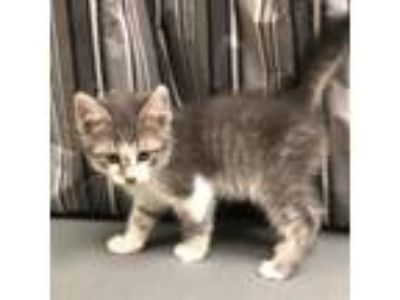 Adopt ABE a Calico or Dilute Calico Domestic Shorthair / Mixed (short coat) cat