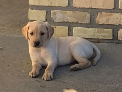 Labrador Retriever PUPPY FOR SALE ADN-101244 - AKC Yellow Lab Puppies Available NOW