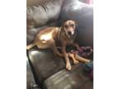 Adopt Piper a Tan/Yellow/Fawn Labrador Retriever / Hound (Unknown Type) / Mixed