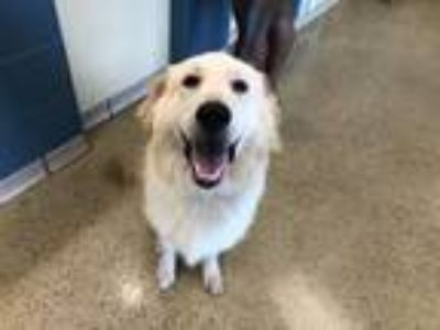Adopt STORM a Great Pyrenees, Labrador Retriever