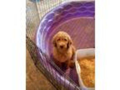 Puppy Stuff For Sale Classifieds In Greenville Michigan
