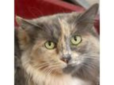 Adopt Dixie a Domestic Long Hair