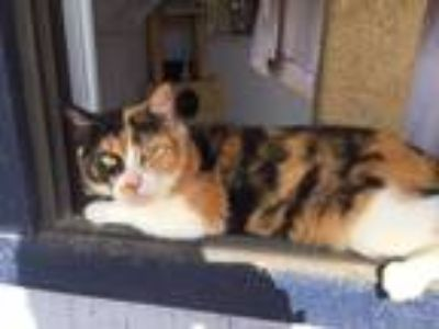 Adopt Yvette a Calico or Dilute Calico Calico (short coat) cat in Porter