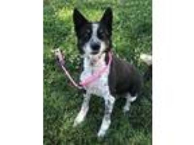 Adopt Casey Jo a Black Australian Cattle Dog / Mixed dog in Caldwell
